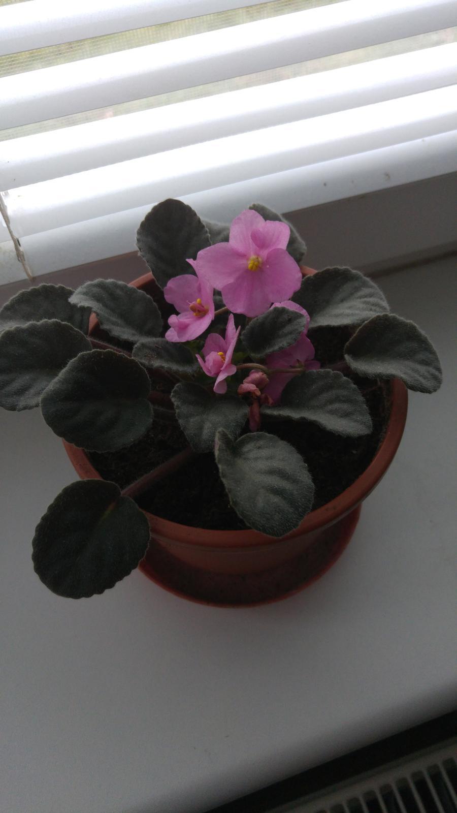 Moje krásne kvetinky - Fialka (12/2016)