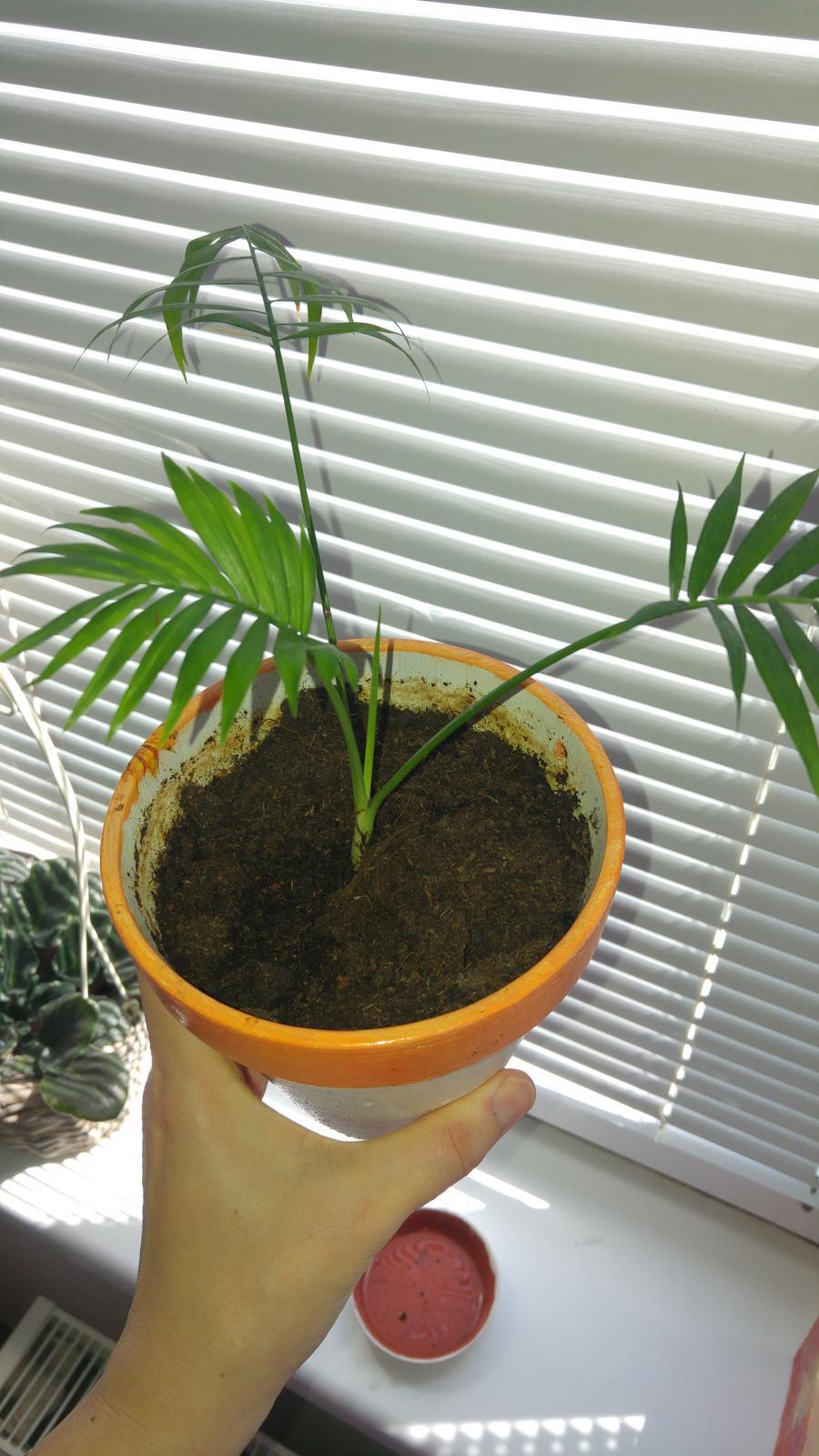 Moje krásne kvetinky - Vykapala mi palma, zachranila som 2 korene