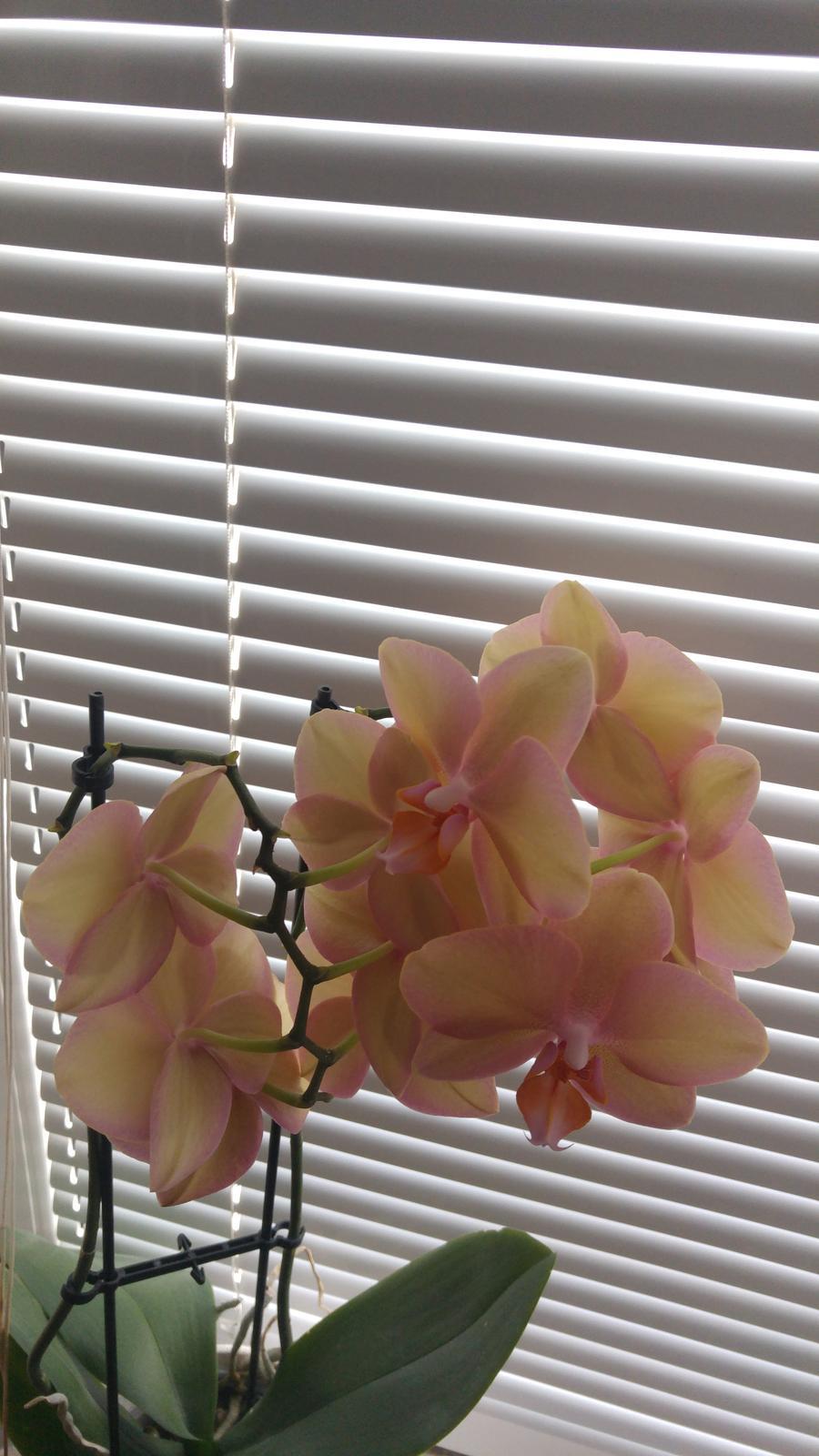 Moje krásne kvetinky - Orchidejka (5/2017)