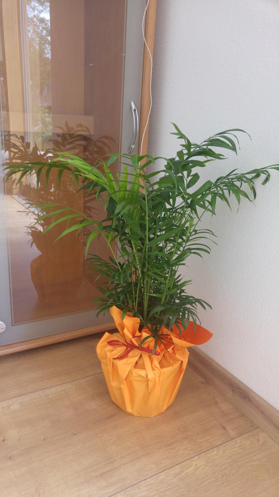 "Moje krásne kvetinky - Chamaedorea - horska palma (9/2017) - ""kolaudacna"""