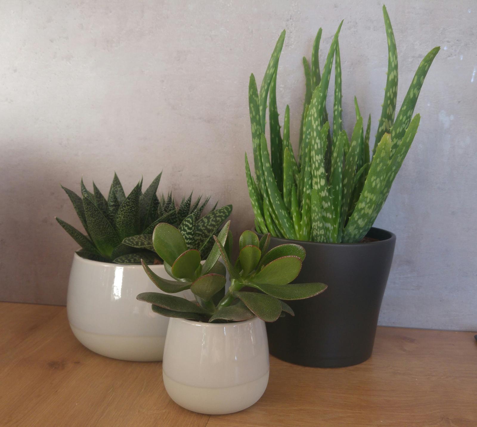 Moje krásne kvetinky - Moje sukulenty z Ikea - aloe aristata, variegata, gasteria, aloe vera, tucnolist (10/2017)