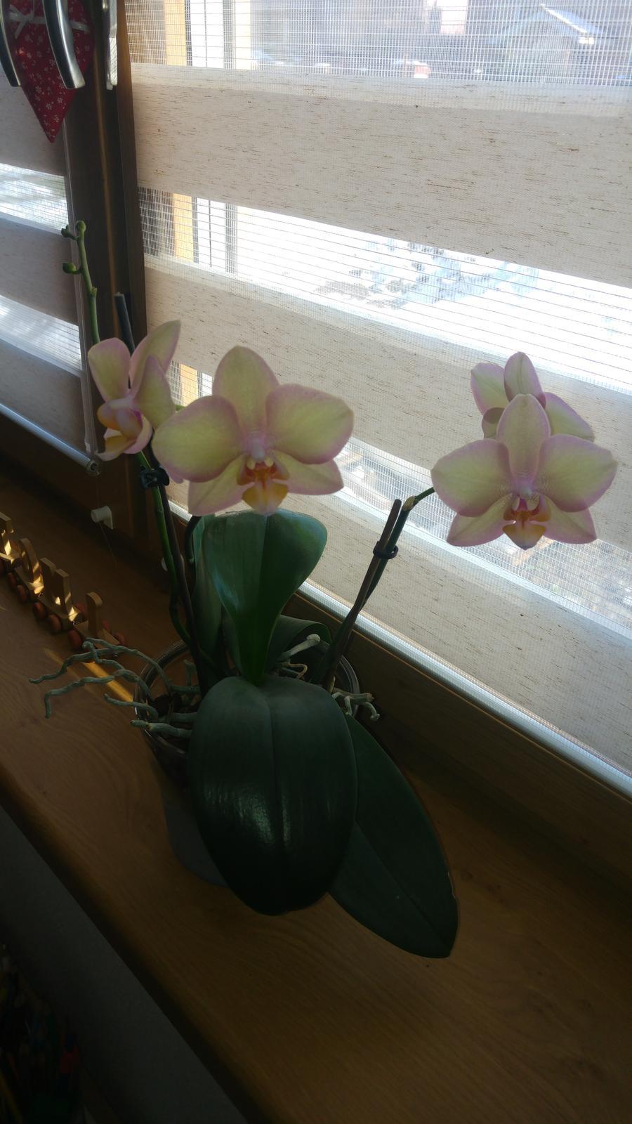 Moje krásne kvetinky - Orchidejka (12/2017) - 3 stonky