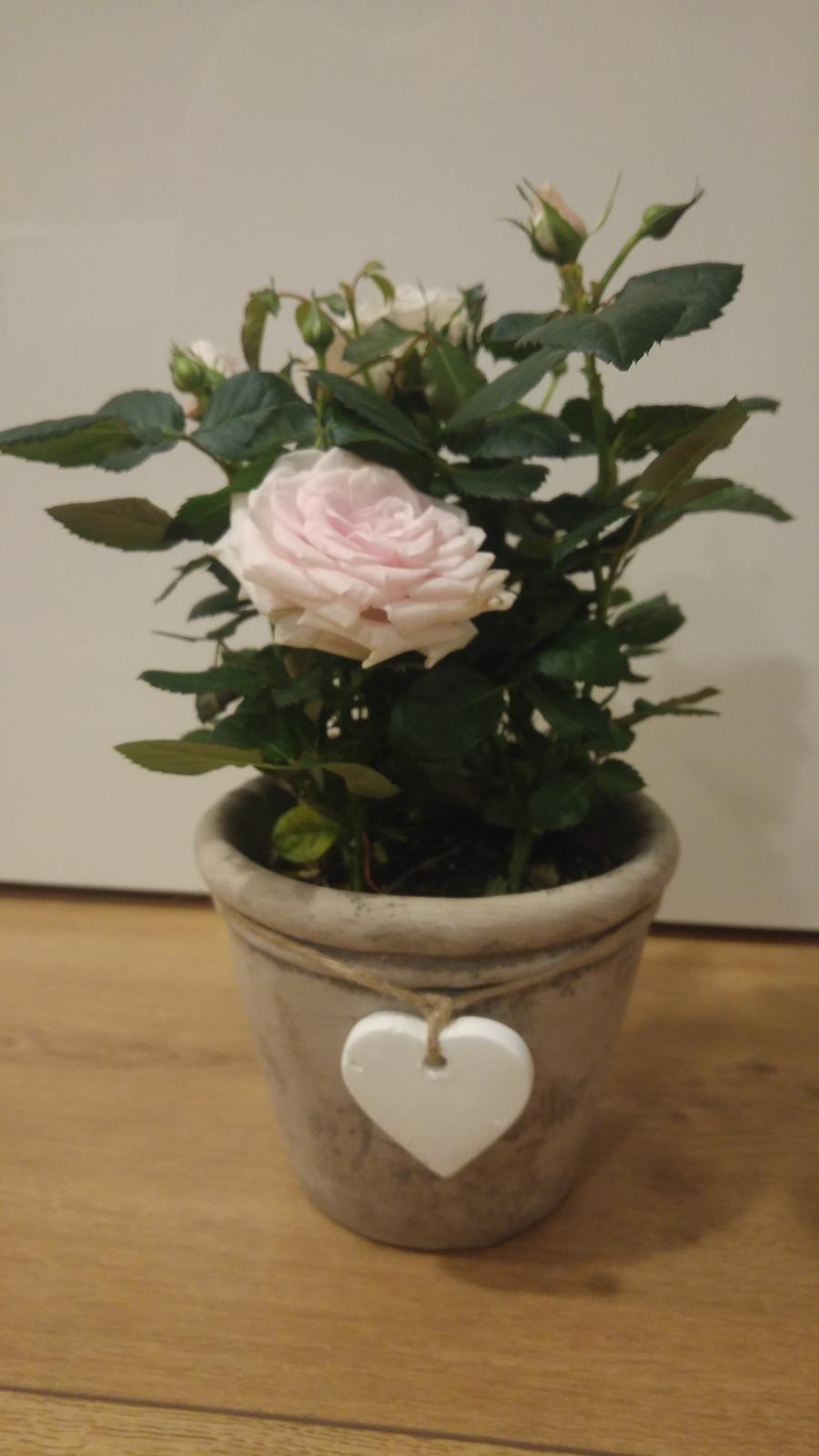 Moje krásne kvetinky - Ruza - 1/2018 (narodeninova od svagrinej), po 3 tyzdnoch vyschla