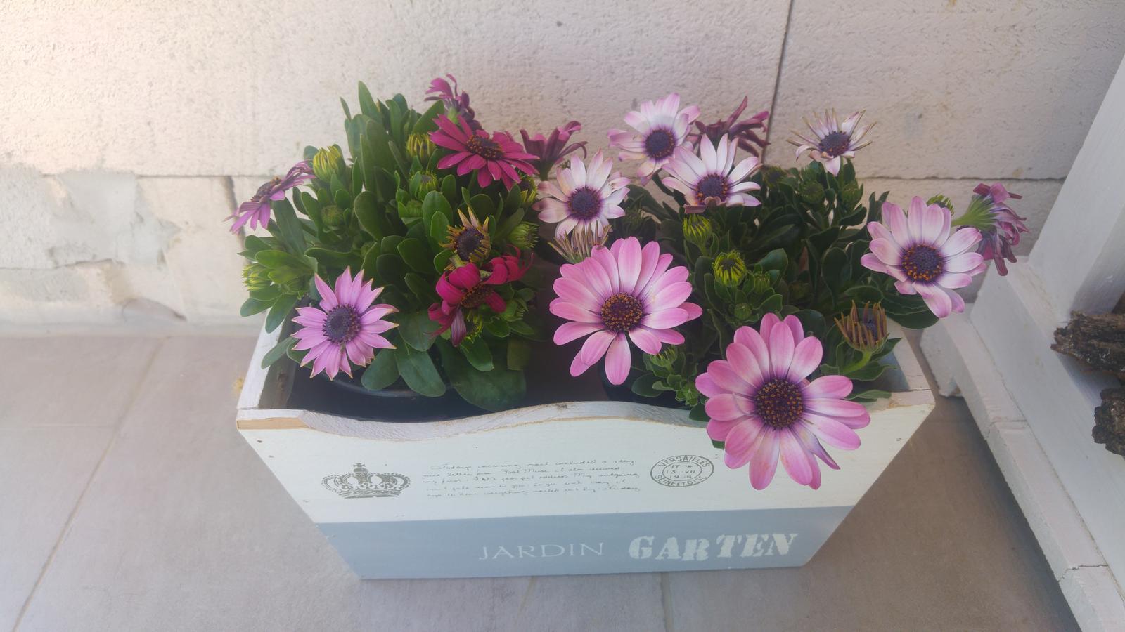 Moje krásne kvetinky - Osteospermum (kupene 4/2018)