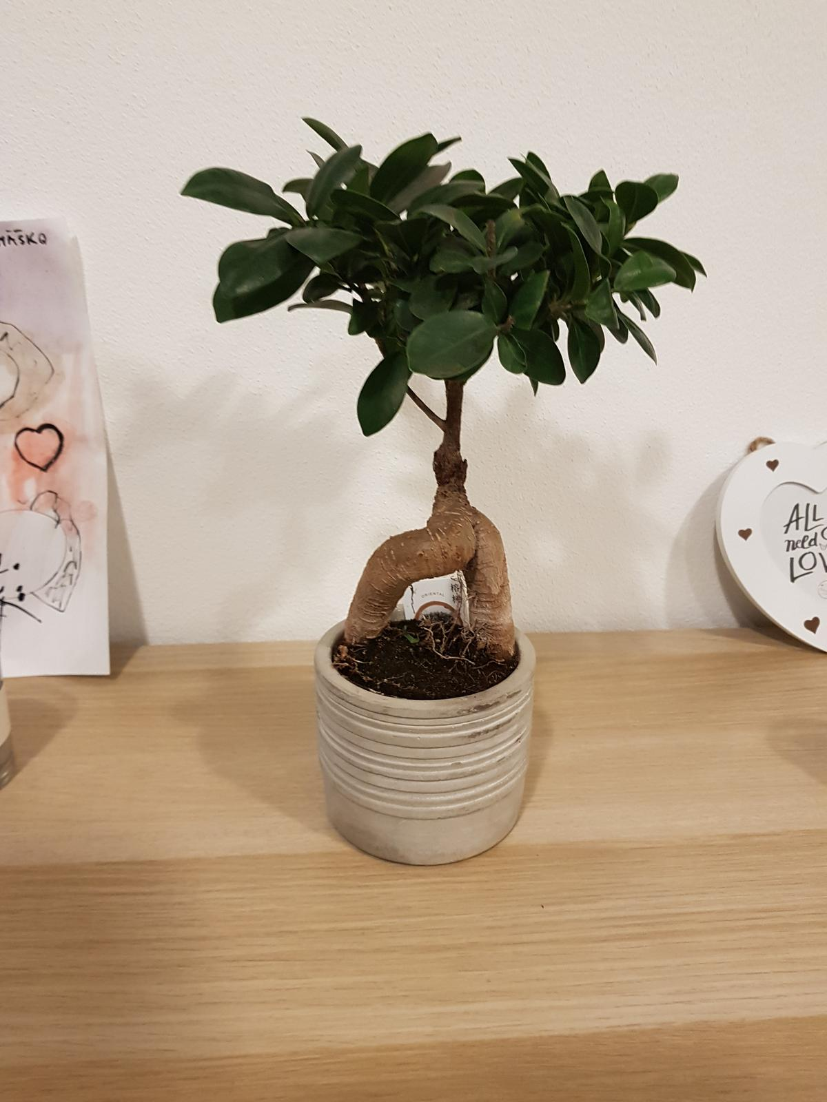 Moje krásne kvetinky - ficus bonsai (1/2019)