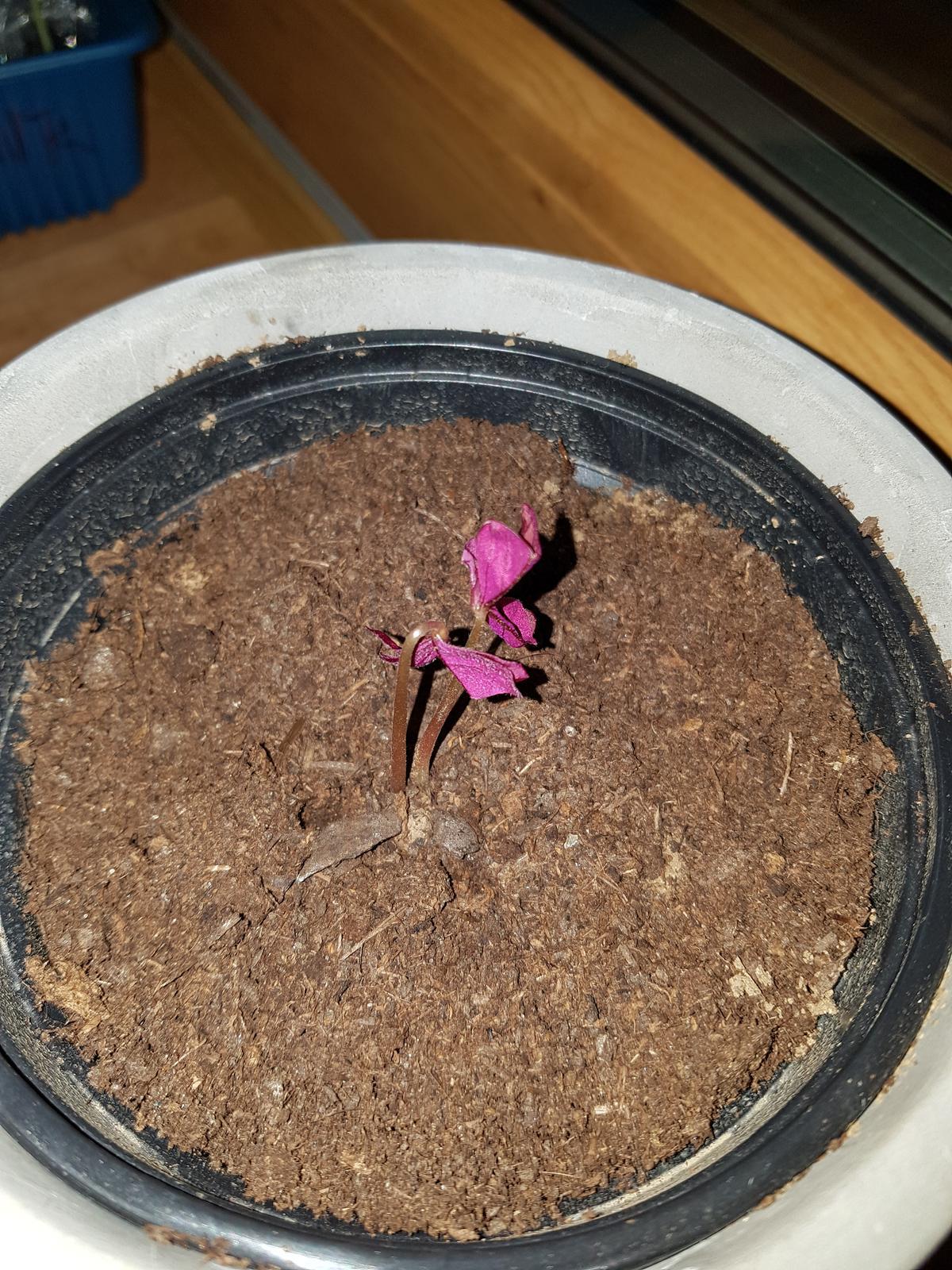 Moje krásne kvetinky - oxalis, neskutocne sa nan tesim
