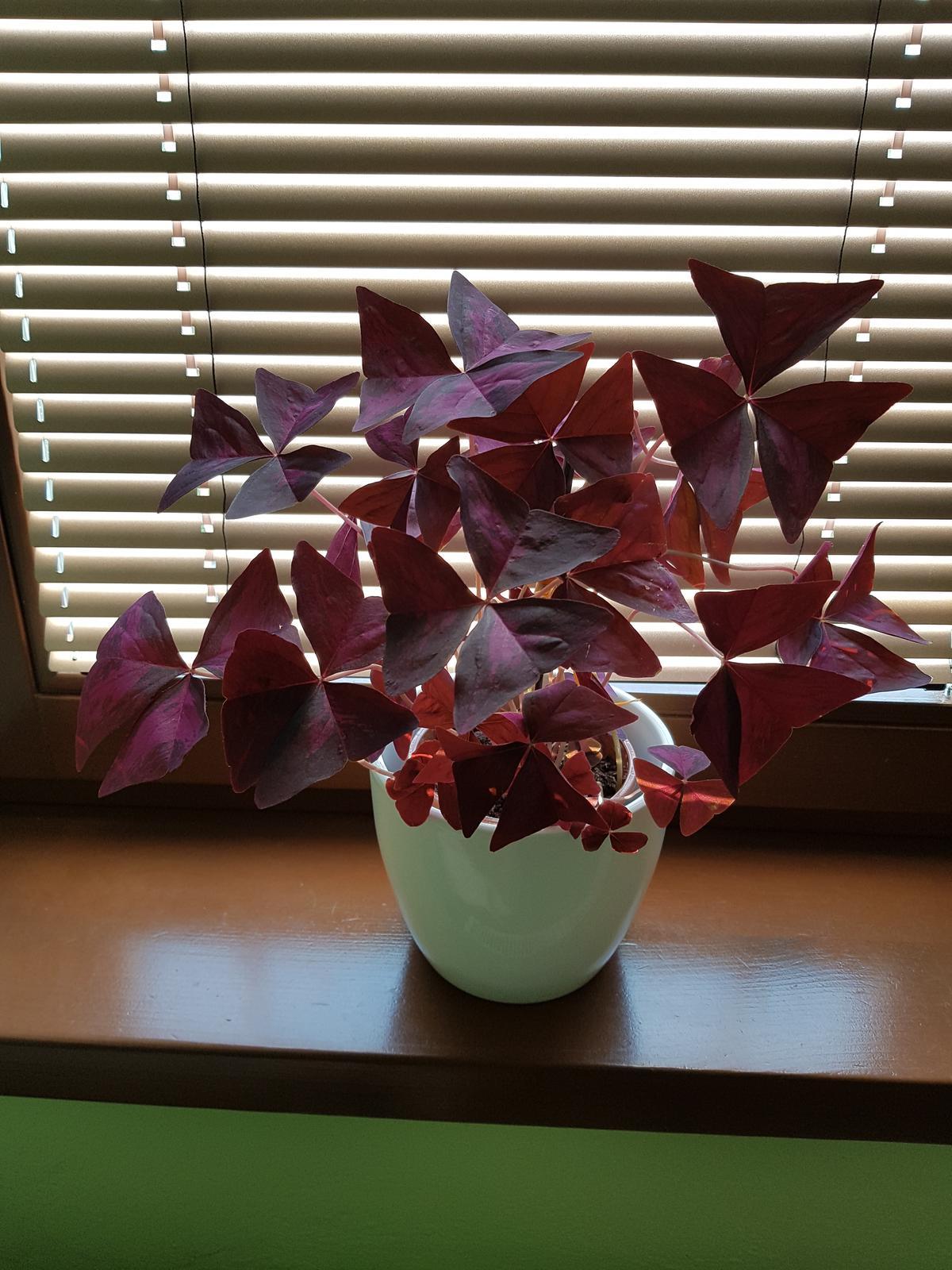 Moje krásne kvetinky - oxalis v praci