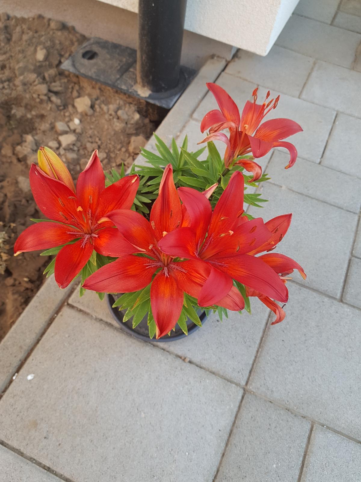Moje krásne kvetinky - lalia kralovska