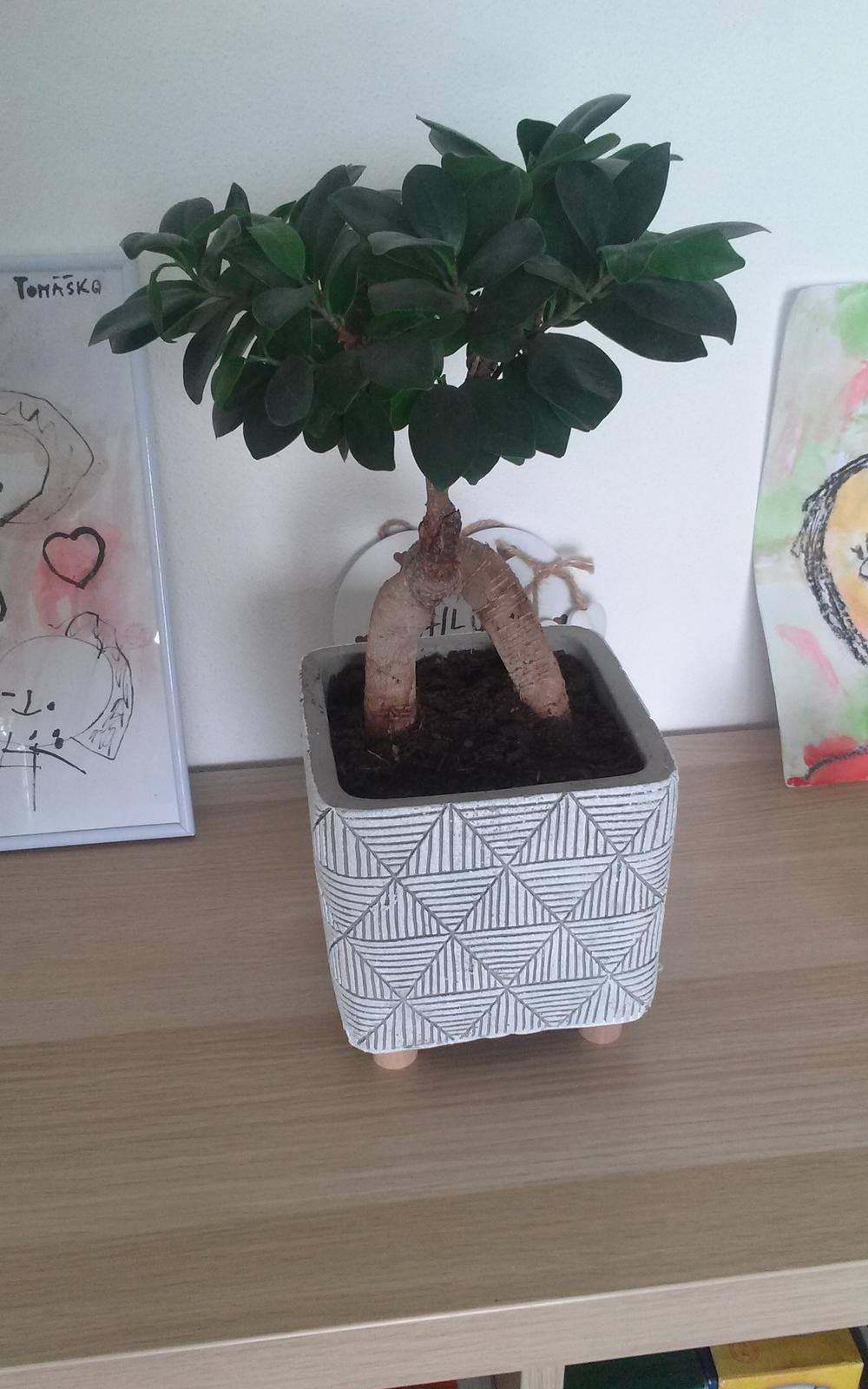 Moje krásne kvetinky - Fikus bonsai 7/2019