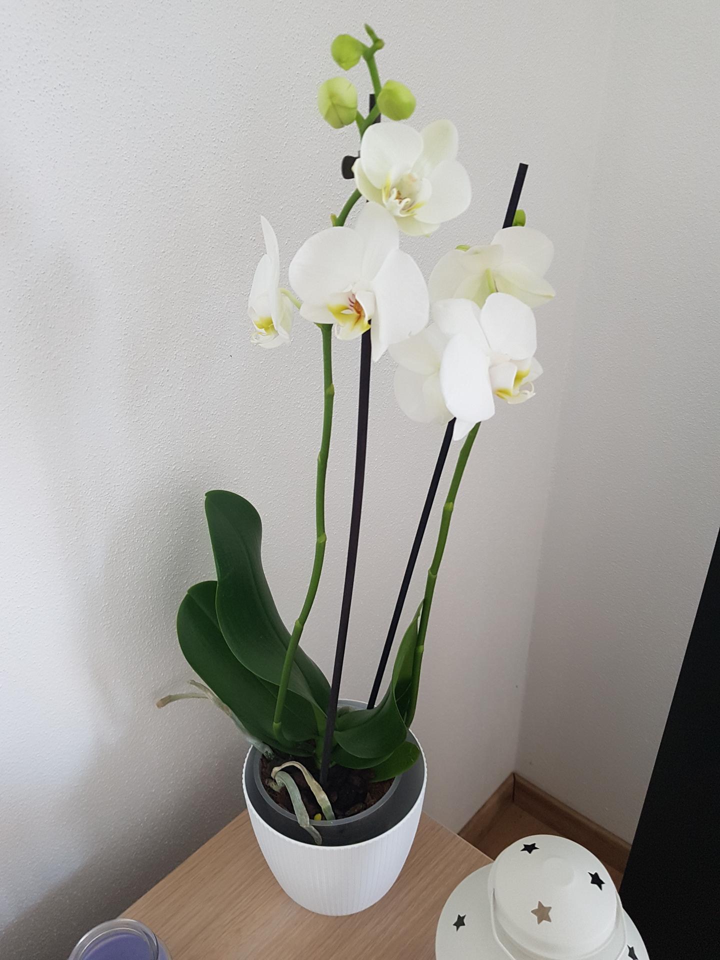 Moje krásne kvetinky - orchidea k narodkam 1/2020