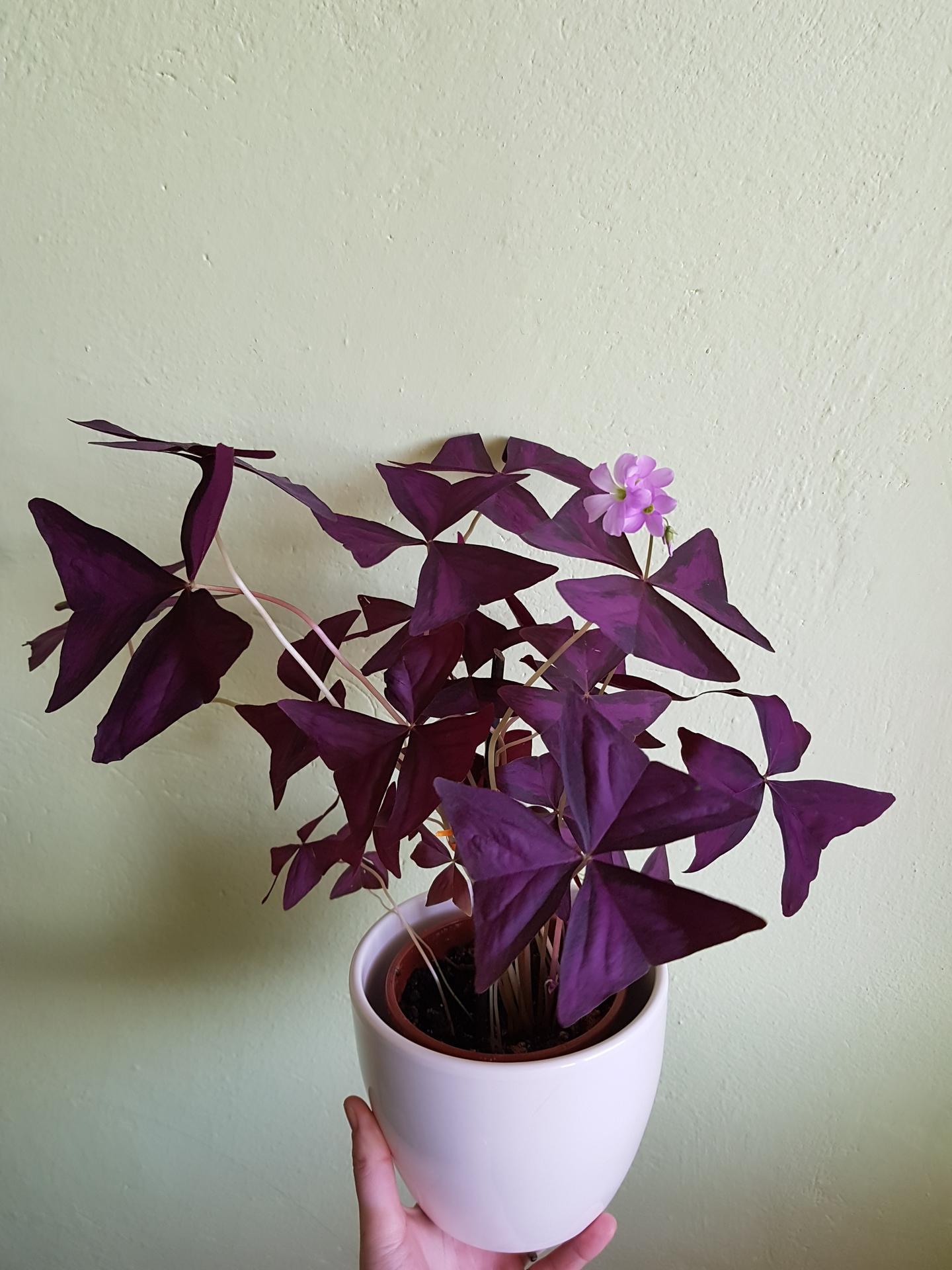 Moje krásne kvetinky - oxalis 2/2020