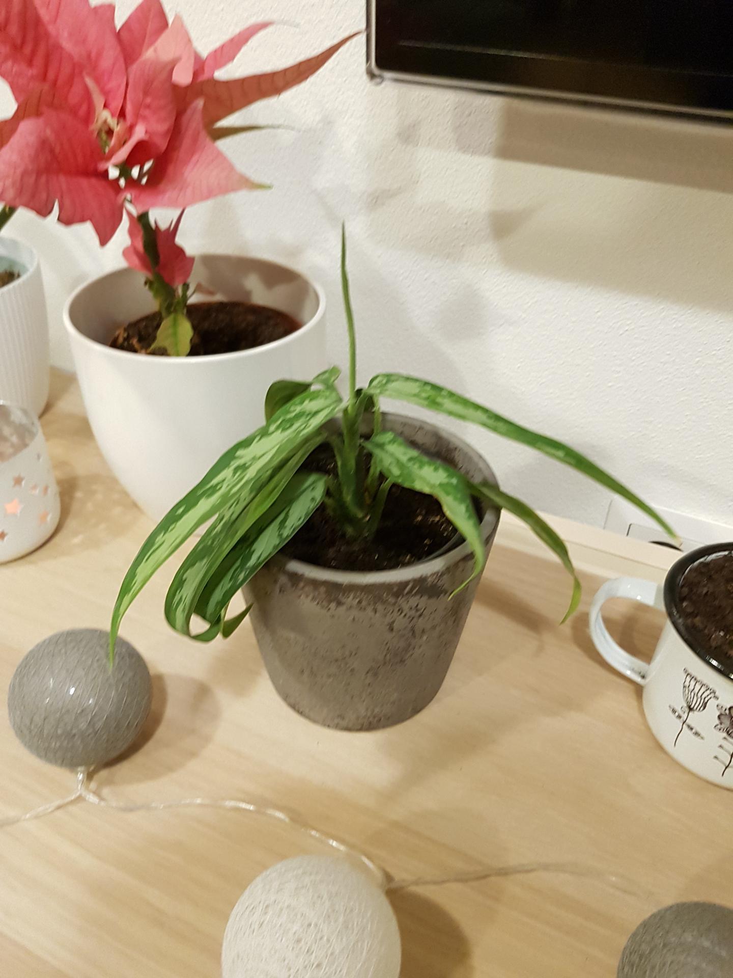 Moje krásne kvetinky - aglaonema 2/2020