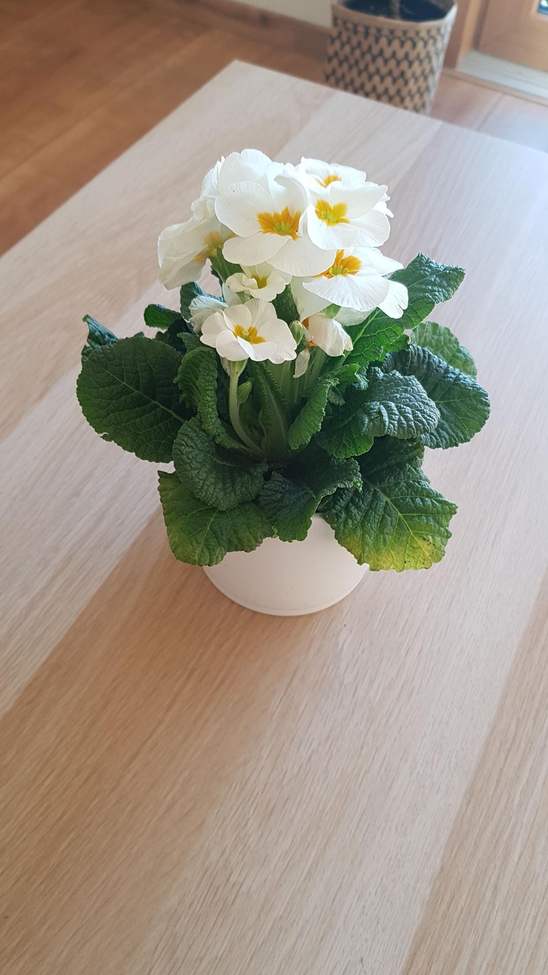 Moje krásne kvetinky - prvosienka 2/2020