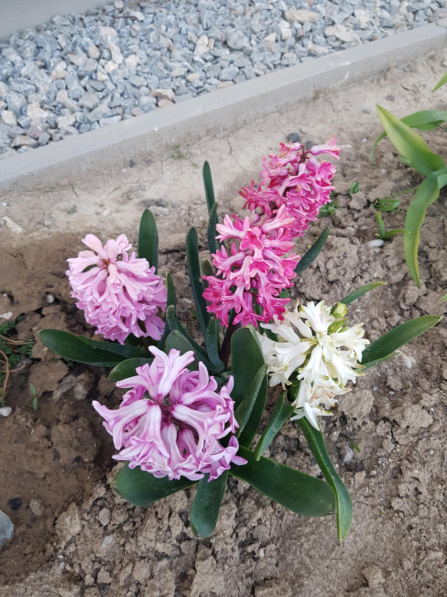 Okrasne zahony - hyacinty