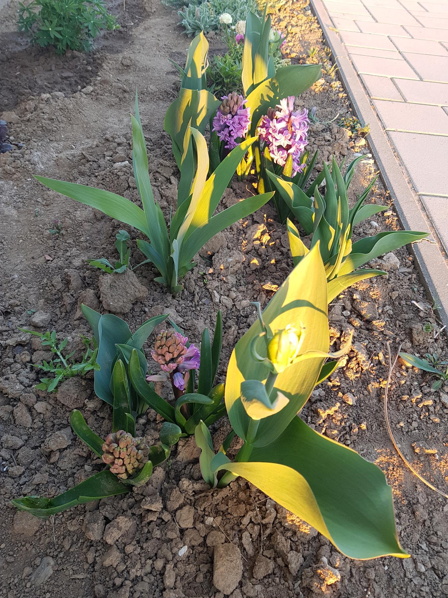 Okrasne zahony - tulipan (strapaty)