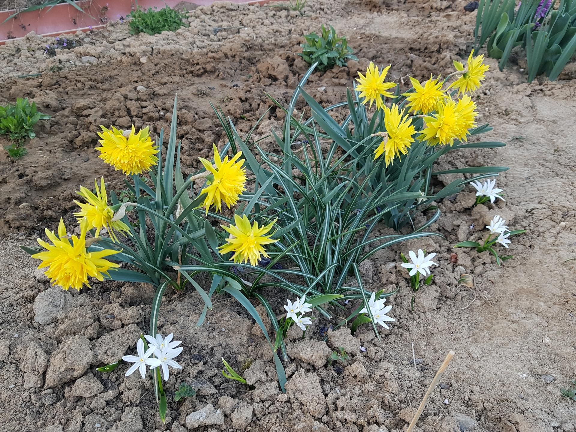 Okrasne zahony - narcis Rip van winkle a modravka ziariva (biela)