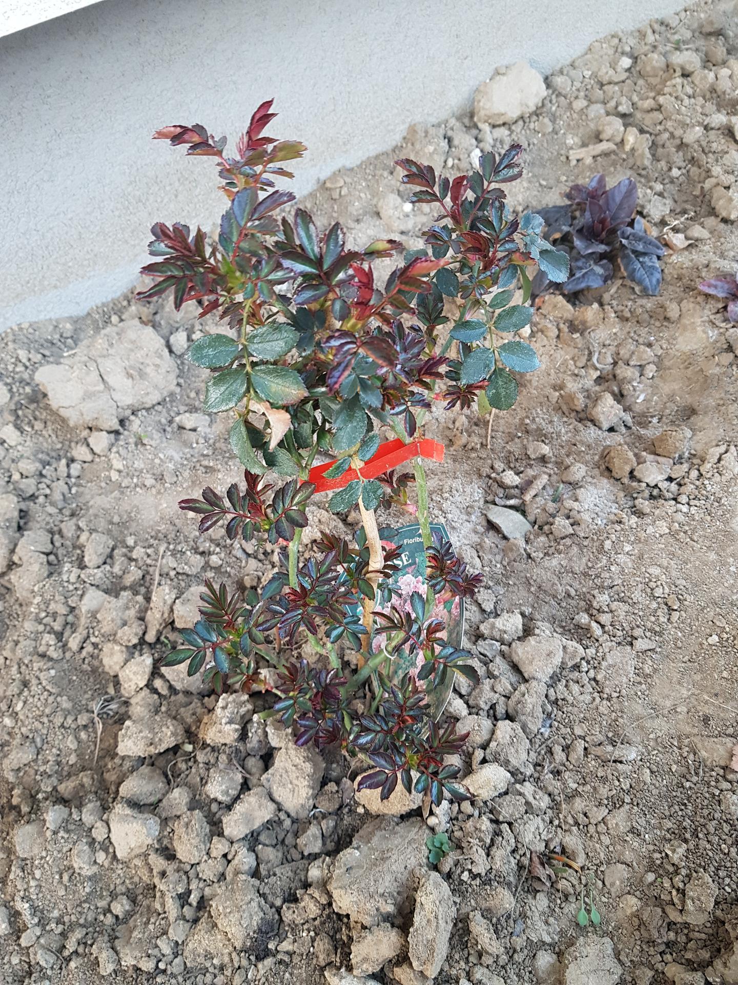 Okrasne zahony - ruza mnohokveta