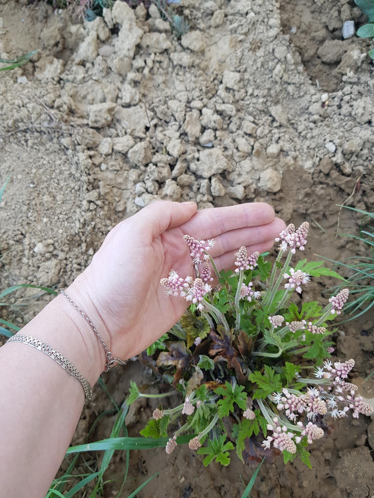 Okrasne zahony - tiarela