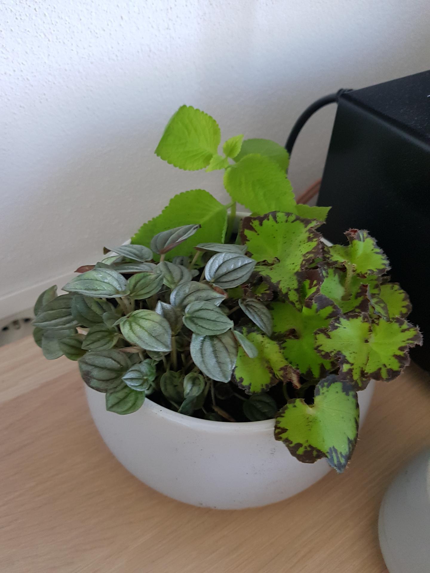 Moje krásne kvetinky - peperomia caperata, begonia a koleus 4/2020