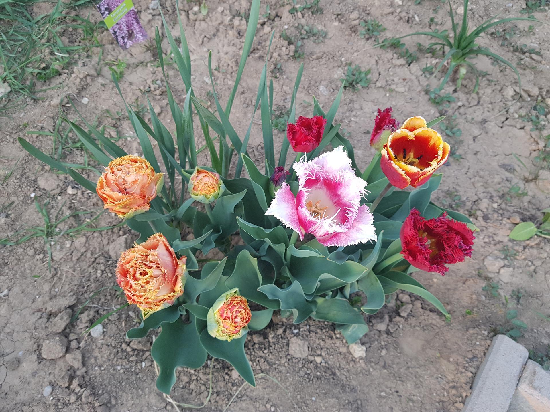 Okrasne zahony - oranzovy tulipan strapkaty Soft Touch