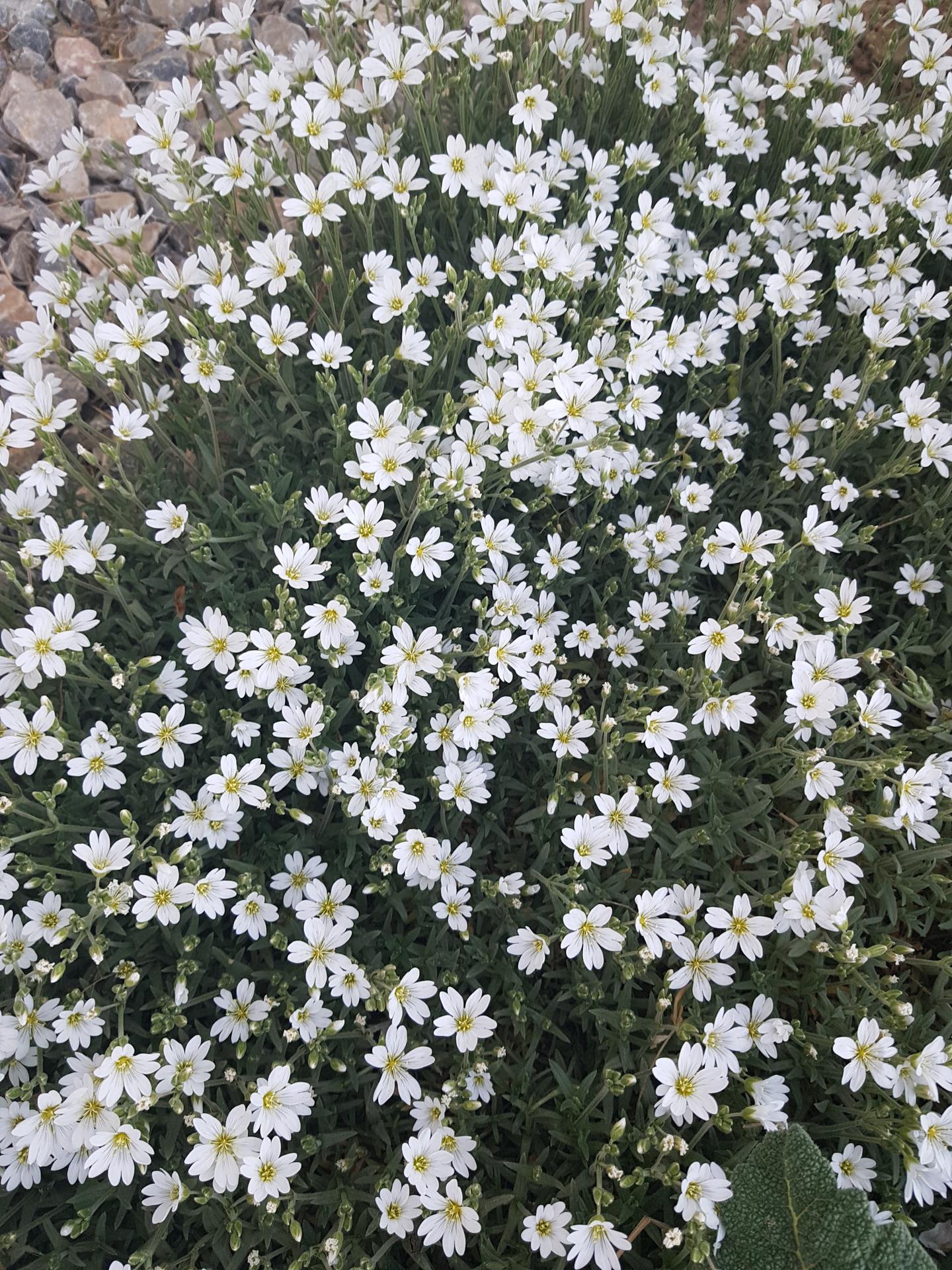 Okrasne zahony - rozec plstnaty