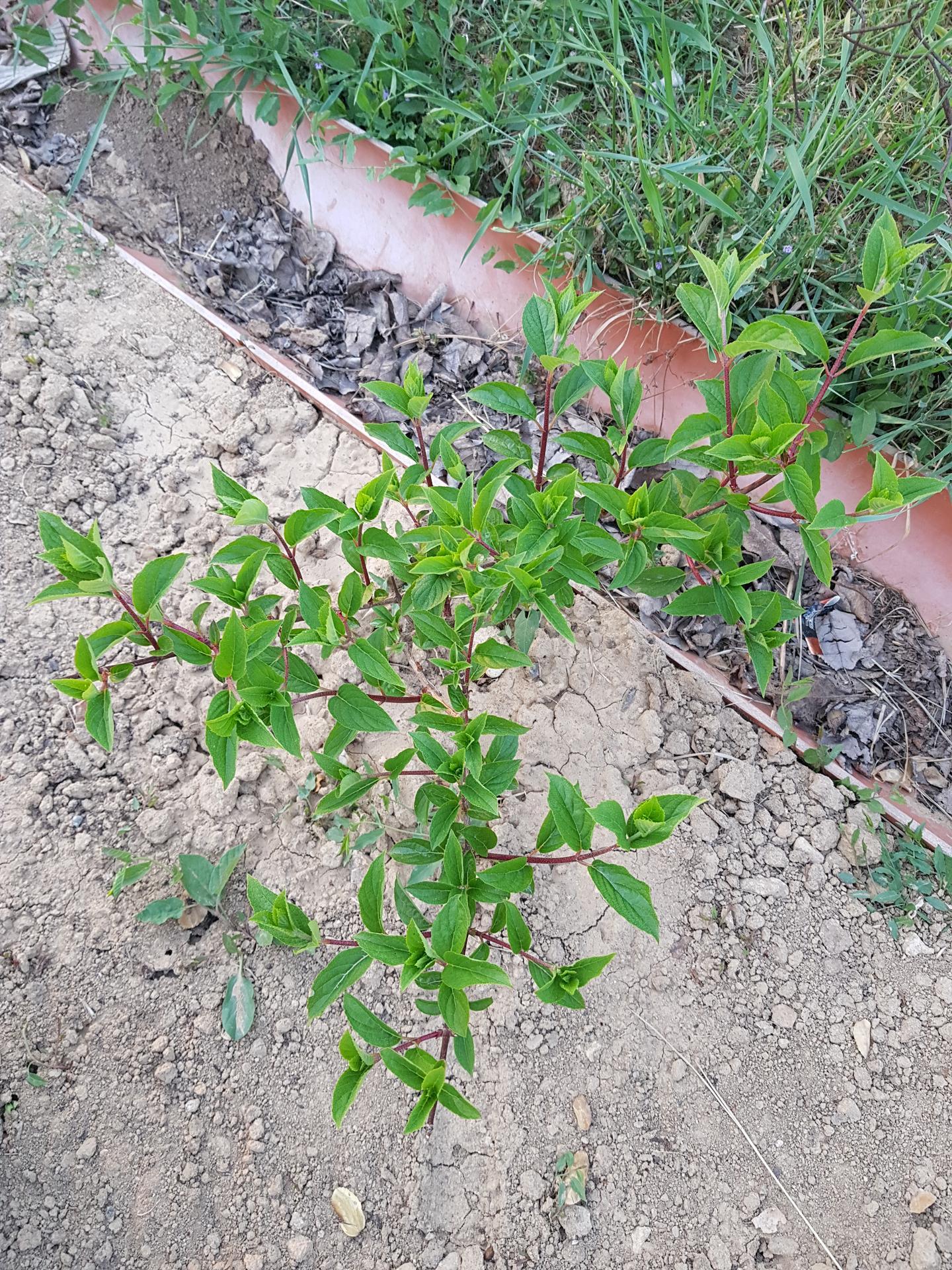 Okrasne zahony - hortenzia metlinata