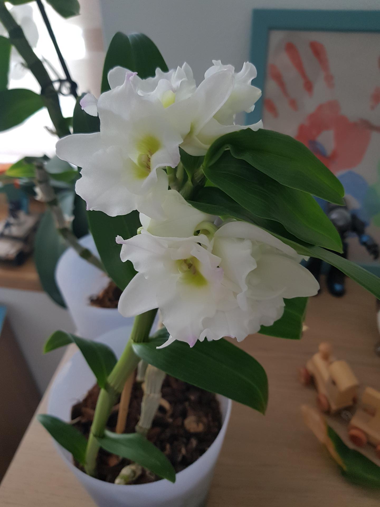 Moje krásne kvetinky - orchidea dendrobium