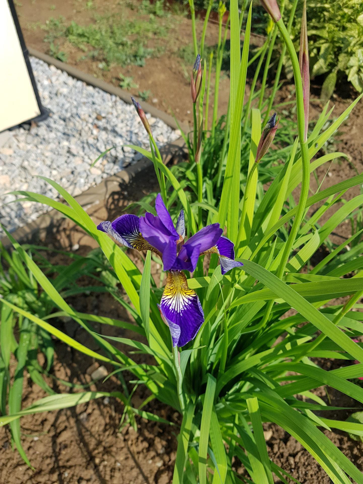 Okrasne zahony - iris