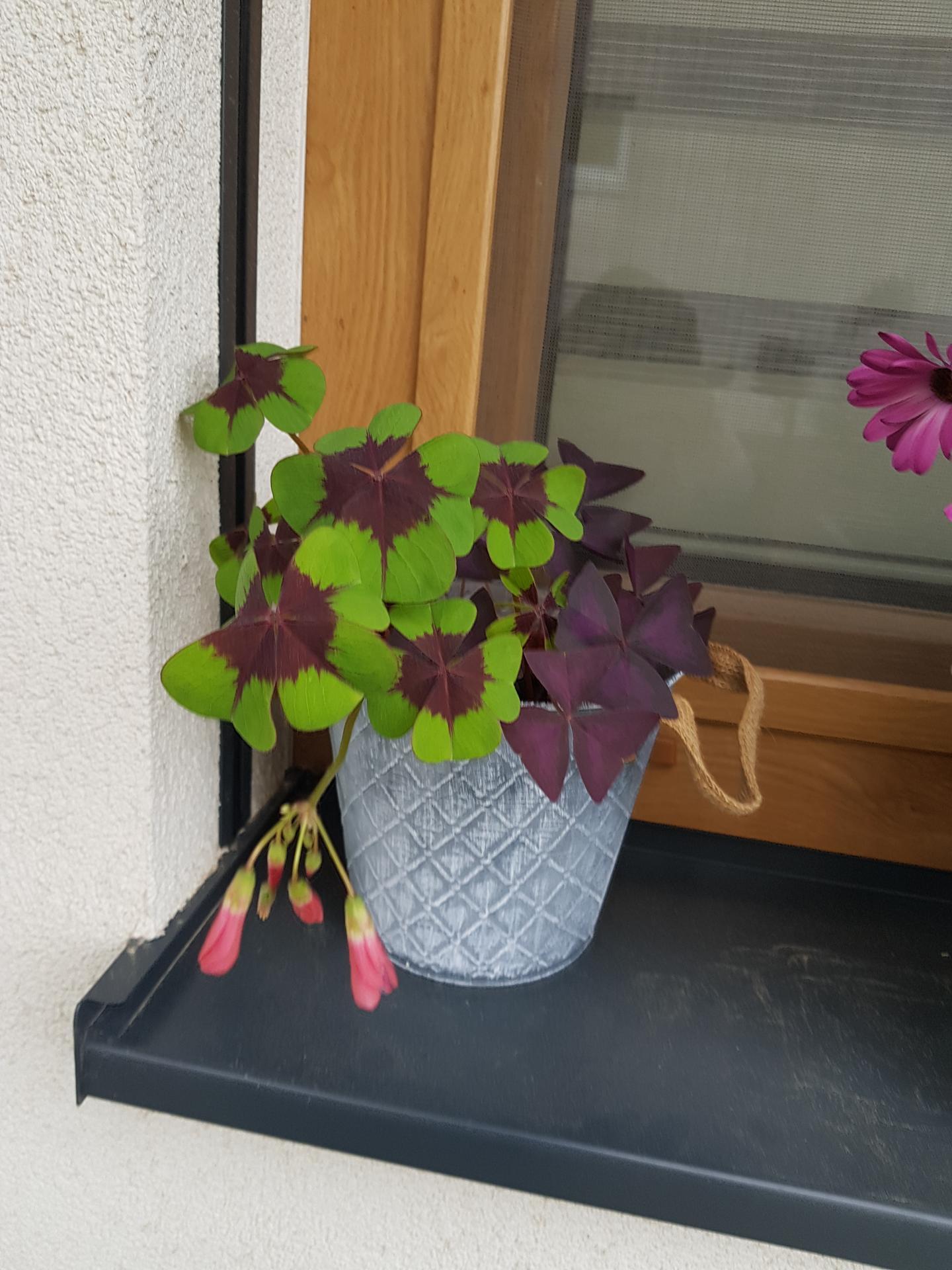 Moje krásne kvetinky - oxalis
