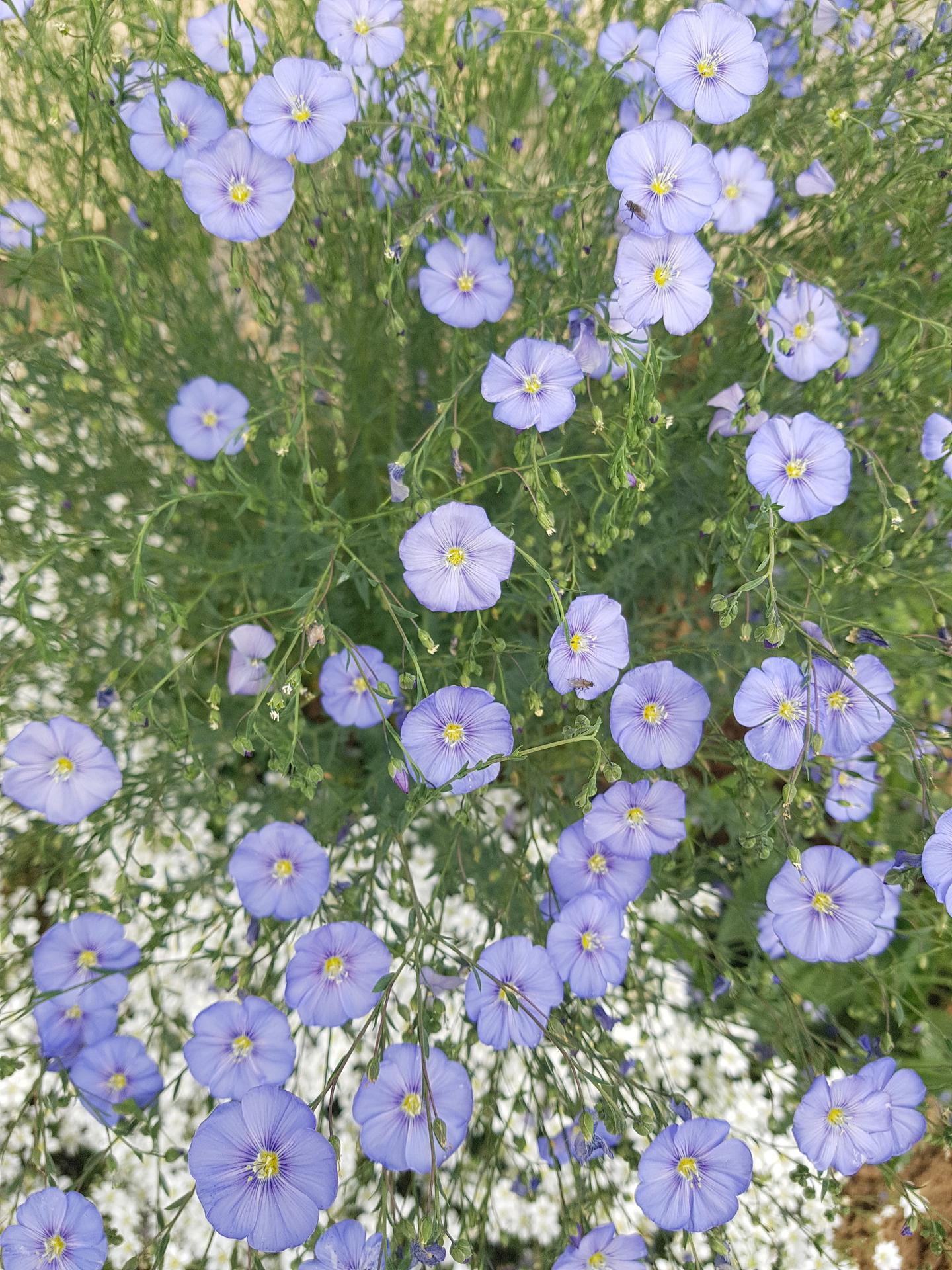 Okrasne zahony - lan modry