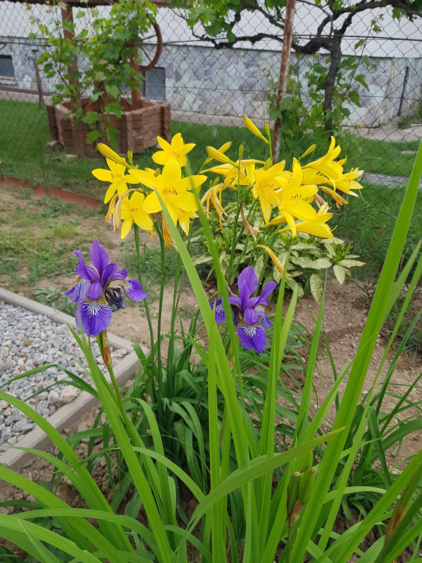 Okrasne zahony - iris a laliovky