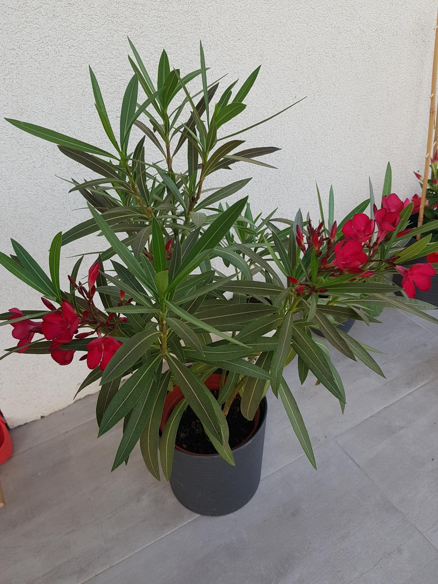 Okrasne zahony - oleander
