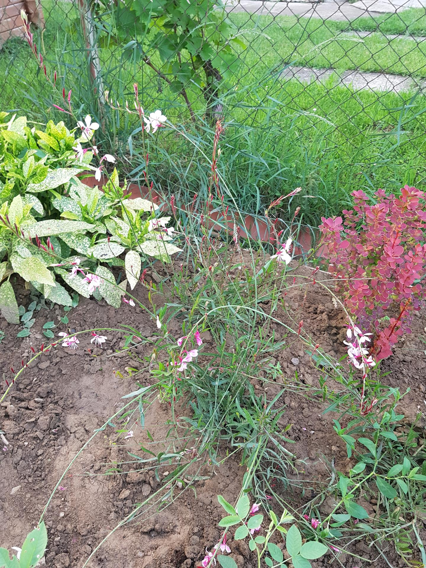 Okrasne zahony - gaura lindheimeri