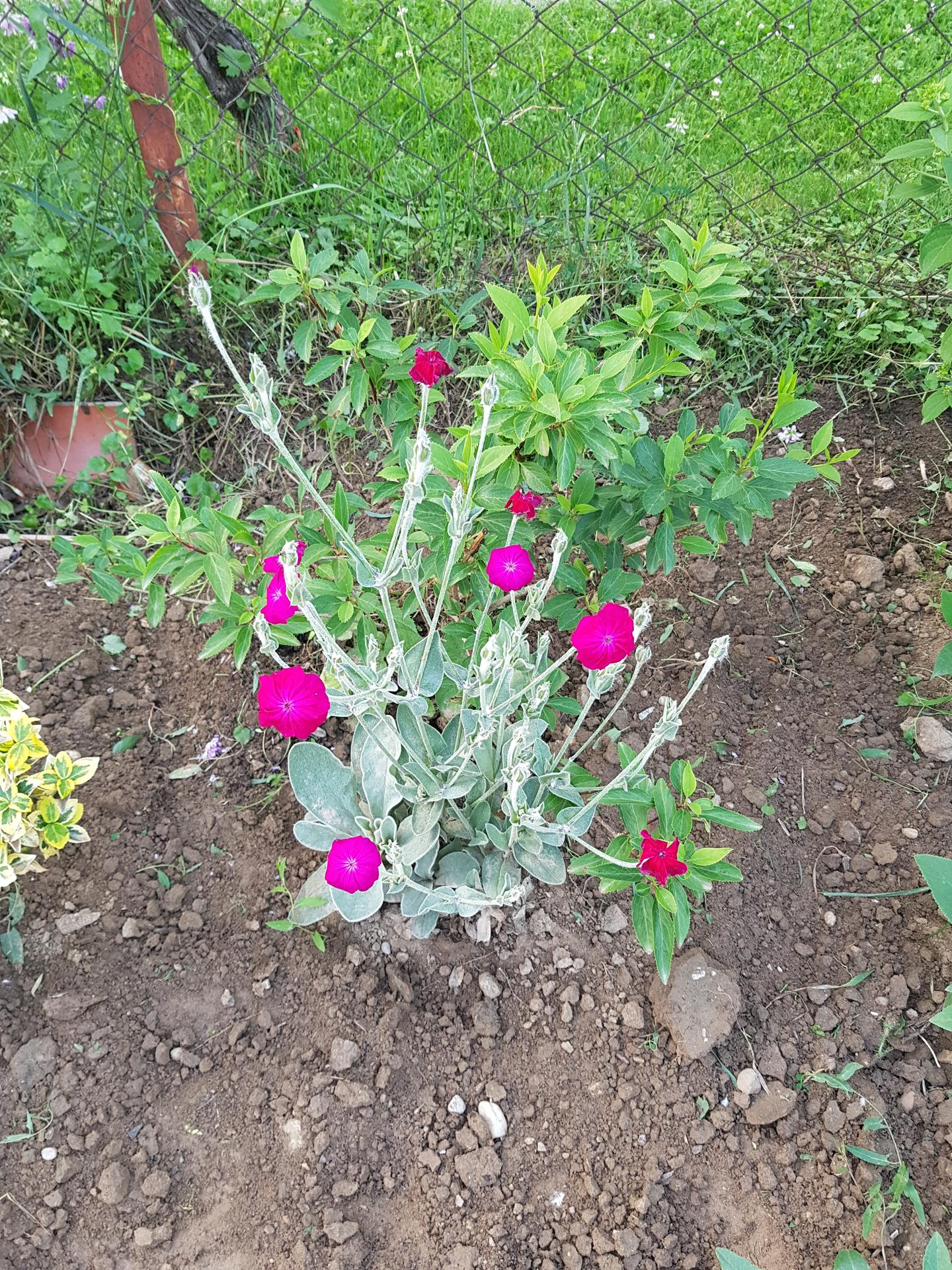 Okrasne zahony - kukucka vencova