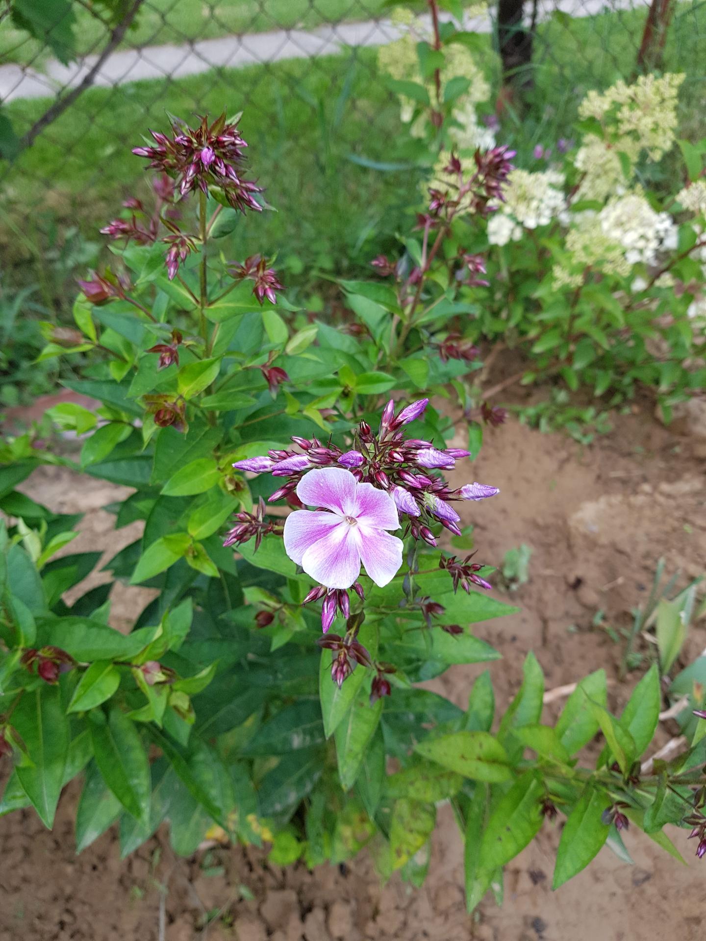 Okrasne zahony - flox metlinaty