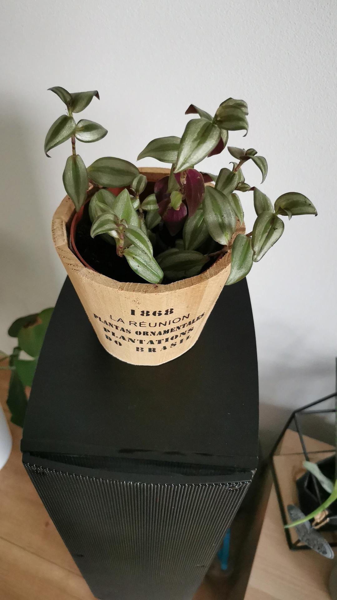 Moje krásne kvetinky - tradescancia zebrina