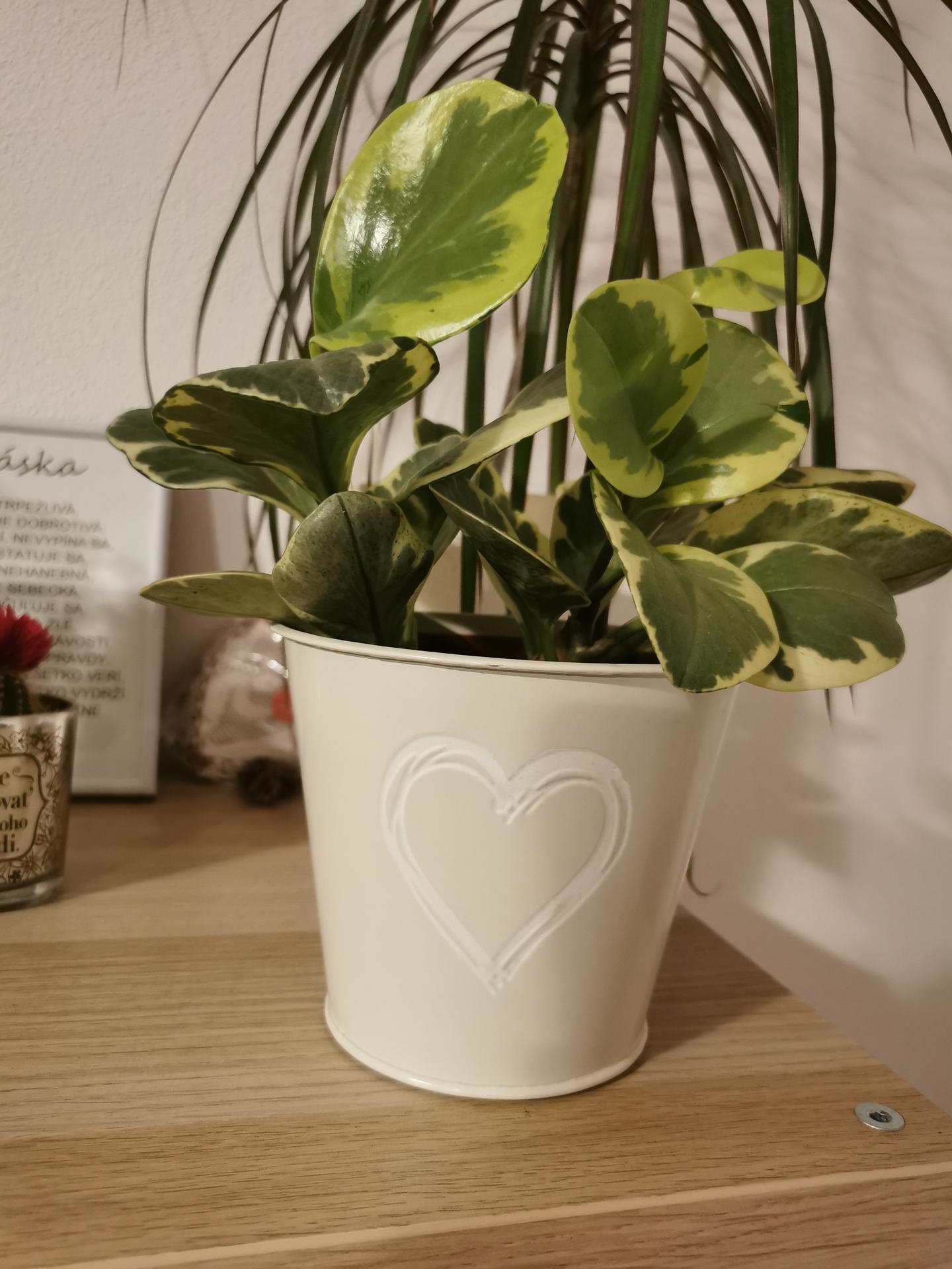 Moje krásne kvetinky - peperomia obtusifolia variegata (1/2021)