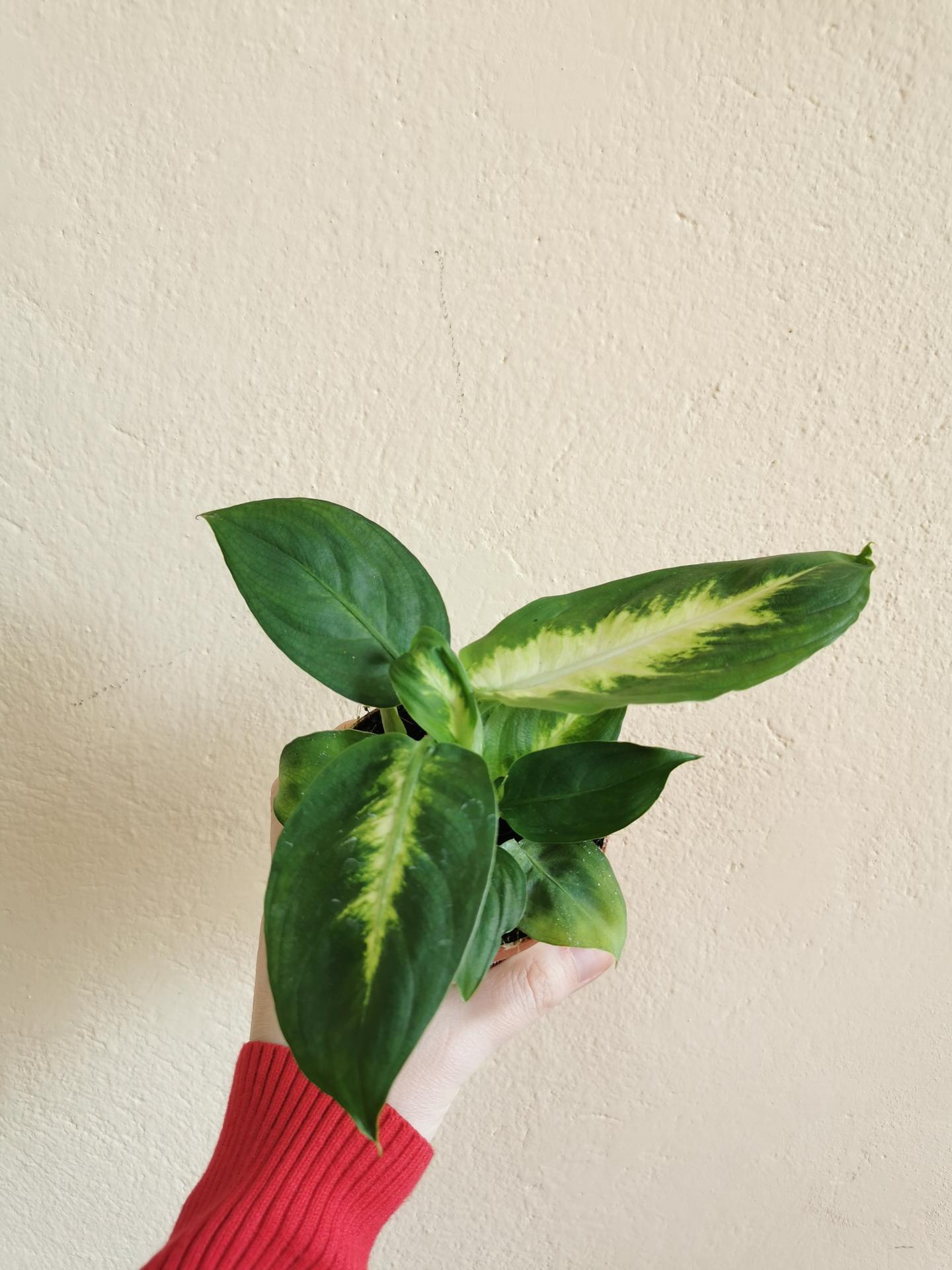 Moje krásne kvetinky - diffenbachia 4/2021 ulovok z jednoty