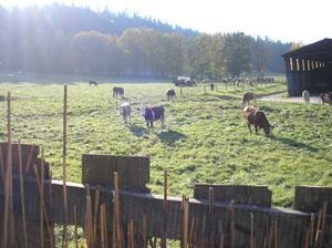 Tak už máme kravičky hnedka vedle plotu :-)