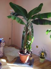 Náš banánovník, je živý prosím a už daleko větší než já, snad se mu tady bude dařit.