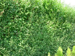 Vybíráme živý plot a... - Obrázek č. 1