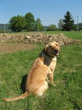 I naše fenka jezdí pomáhat.. jen škoda, že ještě nemáme plot, protože nám utíká za sousedovic labradorem do kterého se asi zamilovala. Tady už ho zase vyhlíží! :-)