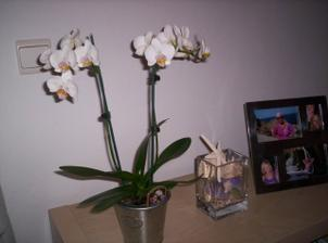 takúto krásnu orchideu mi včera kúpil chlop:-)
