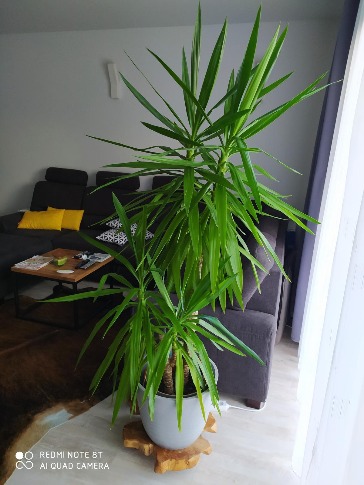 Palma Yucca - Obrázok č. 1
