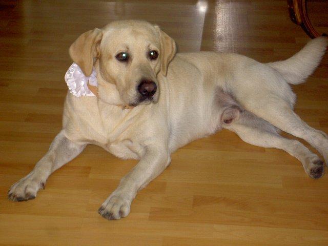 Jojka a Alexík-16.8.2008 - náš krásny psík so svojou svadobnou ozdobou,pre mňa najkrajší psík na svete..aj keď trochu rozmaznaný...hihi