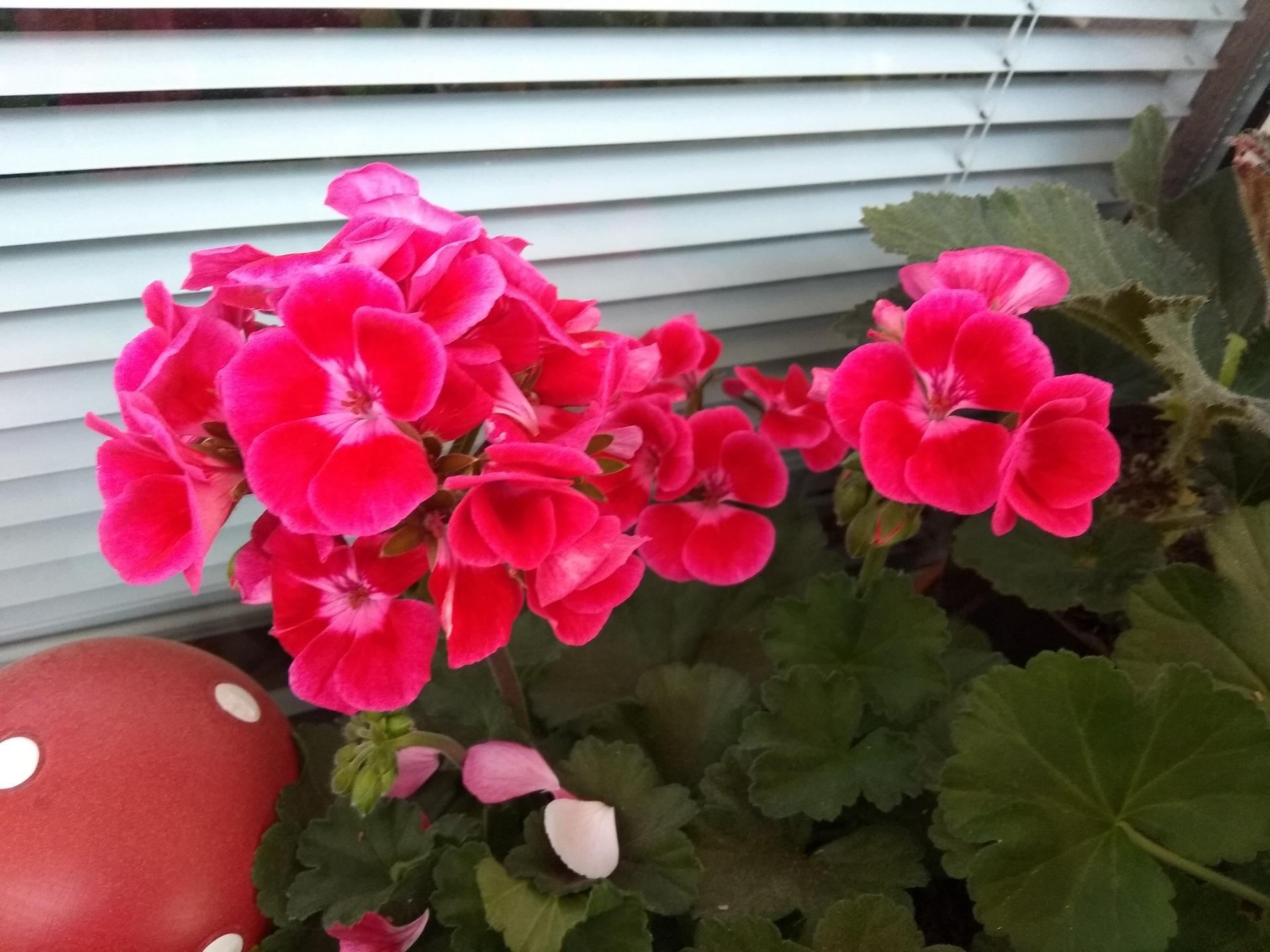 Moje balkónové kvetinkové miš - maš 🙂🌻🥀🍀🌸 - Obrázok č. 11