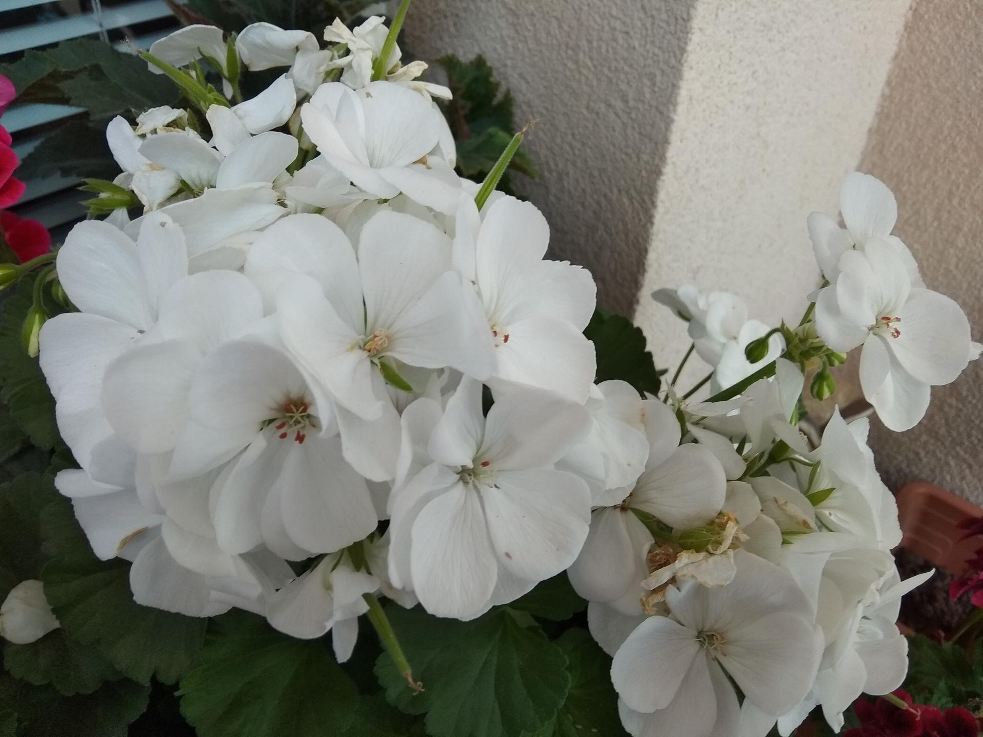 Moje balkónové kvetinkové miš - maš 🙂🌻🥀🍀🌸 - Obrázok č. 12