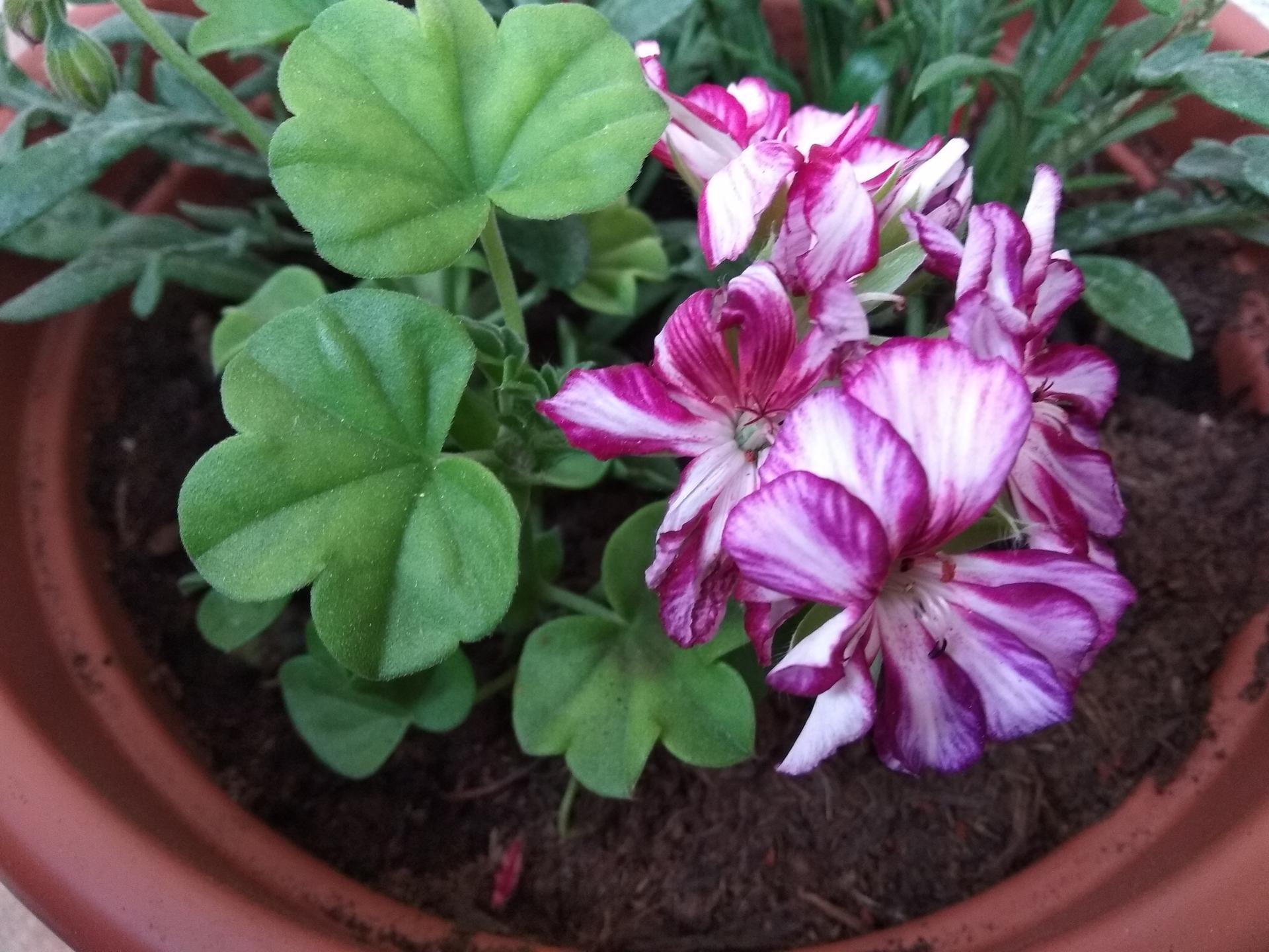 Moje balkónové kvetinkové miš - maš 🙂🌻🥀🍀🌸 - Obrázok č. 14