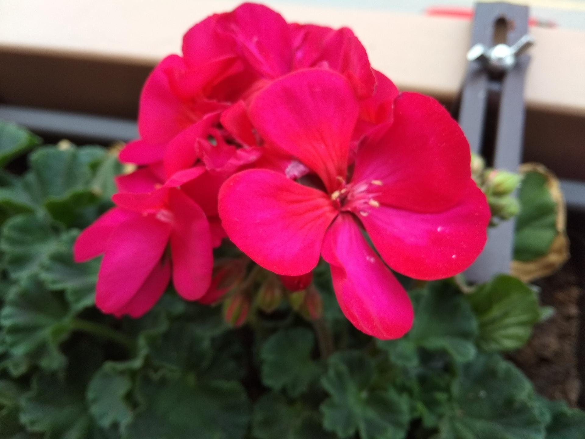 Moje balkónové kvetinkové miš - maš 🙂🌻🥀🍀🌸 - Obrázok č. 10