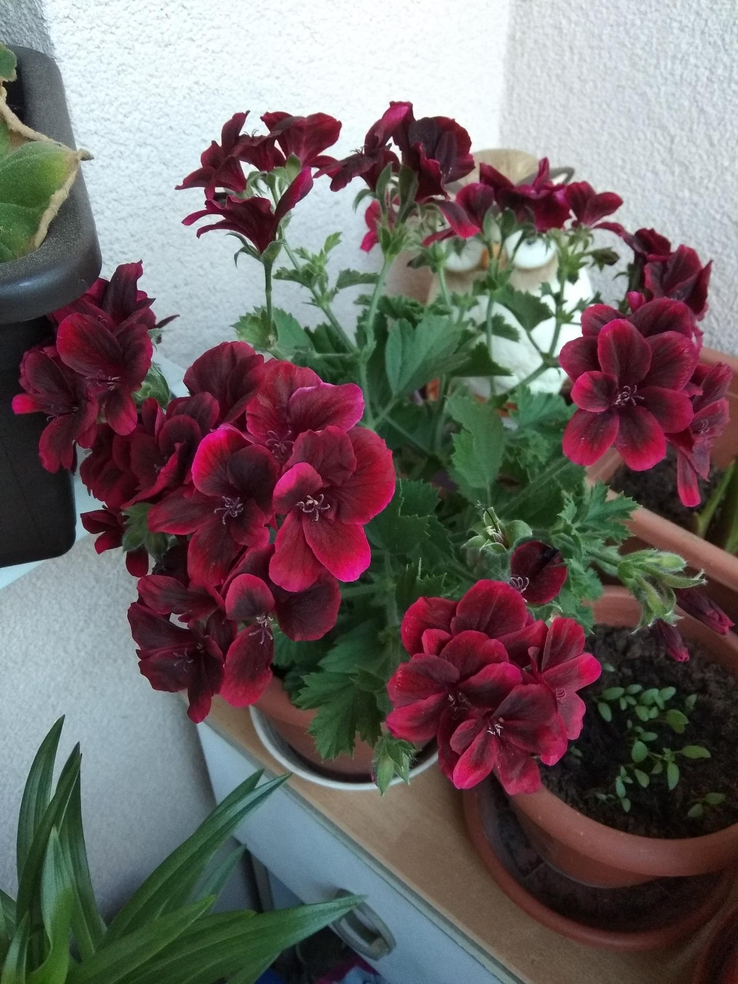 Moje balkónové kvetinkové miš - maš 🙂🌻🥀🍀🌸 - Obrázok č. 40